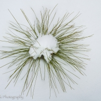 Longleaf_sapling_in_snow