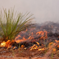 Longleaf_sapling_on_fire