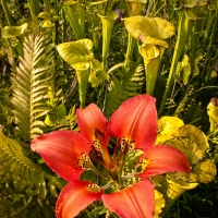Pine_lily_and_pitcher_plants
