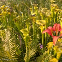 Pine_lily_and_pitcher_plants_2