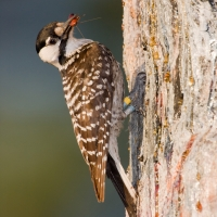 Red-cockaded_woodpecker_with_wood_roach