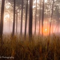 Sunrise-through-longleaf-pine-stand