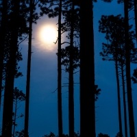 moon_in_the_longleaf_pines